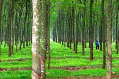 Cao su Quảng Nam lỗ tiếp 78 tỷ đồng năm 2020, nâng tổng lỗ lũy kế lên 1.344 tỷ đồng