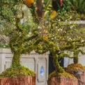 <p> Mai trắng bọc rêu (hay còn gọi là nhất chi mai) là dòng cây có nguồn gốc từ Sa Pa cũng đổ bộ thị trường cây cảnh Tết Nguyên đán. Theo khảo sát tại chợ hoa Cổ Linh (quận Long Biên), năm nay rất ít hàng kinh doanh loại cây này.</p>