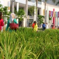 <p> Cảm xúc làng quê đong đầy quanh những bông lúa chín đến ngày thu hoạch...</p>