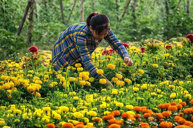 Hoa và nông sản ế ẩm trước Tết, nông dân 'khóc ròng' vì lỗ vốn