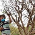 <p> Ông Phúc, chủ vườn cho biết đây là loại mai 5 cánh thuộc dạng hiếm với mùi thơm ngào ngạt. Cây cao khoảng 5m với tán lá rộng, được ông mua từ một vườn trồng ở miền Tây và đem về chăm sóc khoảng 5 tháng nay.</p>