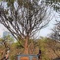 <p> Tại chợ hoa xuân Phú Mỹ Hưng (quận 7, TP HCM), nhà vườn Phúc Gia rao bán một cây mai vàng được giới thiệu có tuổi thọ trên trăm năm với giá 2,5 tỷ đồng.</p>