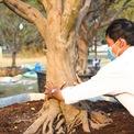 <p> Người chủ vườn lý giải, cây mai cổ có gốc lớn, đế đẹp, dáng bề thế, thuộc dạng hiếm có và khó tìm bởi loài cây này sinh trưởng khá chậm, không dễ để có một cái gốc bằng 4 - 5 gang bàn tay người ôm.</p>
