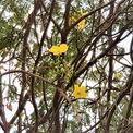 <p> Tán cây lớn, có nhiều nụ và hoa. Hoa mai vàng 5 cánh đã thi thoảng bung nở, còn lại nụ vẫn còn e ấp.</p>