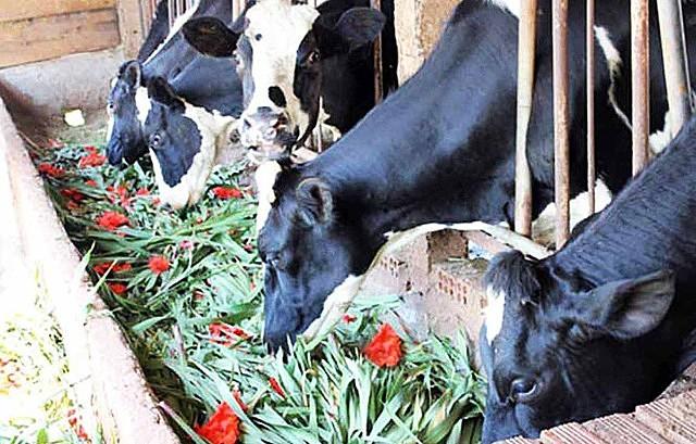 Cho bò sữa ăn hoa lay ơn thay cỏ.