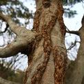 <p> Những cây mai đều phát triển tự nhiên, có tuổi thọ nhiều năm được ông Phúc mua về từ nhiều nơi, thân to, sù sì cổ kính.</p>