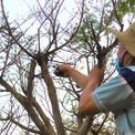 <p> Ông Phúc cho biết những cây mai này được chăm sóc khá cẩn thận, tỉ mỉ: tưới nước mỗi ngày, bón phân và xịt thuốc 10 ngày một lần để trừ sâu nhện đỏ, nấm hồng...</p>