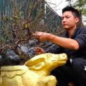"""<p class=""""Normal""""> Anh Phạm Văn Quân, phường Phú Thượng, quận Tây Hồ, Hà Nội - Chủ nhân của 200 gốc đào có hình dáng đặc biệt, cho biết mỗi năm đều lựa chọn tạo hình sản phẩm tương ứng với năm con giáp đó. Năm nay là Tân Sửu nên chọn hình con trâu.<span>Trước tết 3 tháng đào sẽ được bứng lên chậu, tuốt lá và chỉ chờ đến Tết để mang ra chợ bán.</span></p> <p class=""""Normal""""> </p>"""