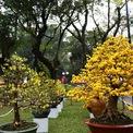 <p> Tại hội hoa xuân công viên Tao Đàn, cây mai cúc vàng rực nổi bật cả một góc trời.</p>