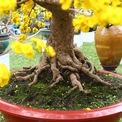 <p> Cây mai này có tuổi thọ hơn trăm năm, gốc cây xù xì, tạo hình đẹp mắt, được định giá khoảng 2 tỷ đồng.</p>
