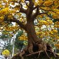 <p> Cây có chiều cao khoảng 1,5 m, gốc mai lớn, tạo thế đẹp, tán lá rộng cùng nhiều hoa bung rộ.</p>