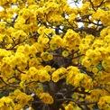 <p> Giống mai cúc có hoa màu vàng đậm, cánh dày và nhiều bông.</p>