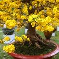 <p> Một số người trong nghề cho biết hoa mai cúc có độ bền, lâu phai lâu tàn.</p>