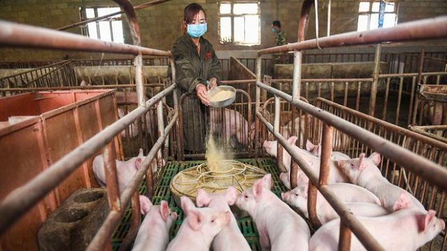 Huawei chuyển sang nghiên cứu chăn nuôi heo