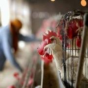 Nga lần đầu tiên phát hiện virus cúm gia cầm H5N8 ở người