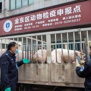 Trung Quốc phát hiện biến chủng tả lợn châu Phi có tính lây nhiễm cao