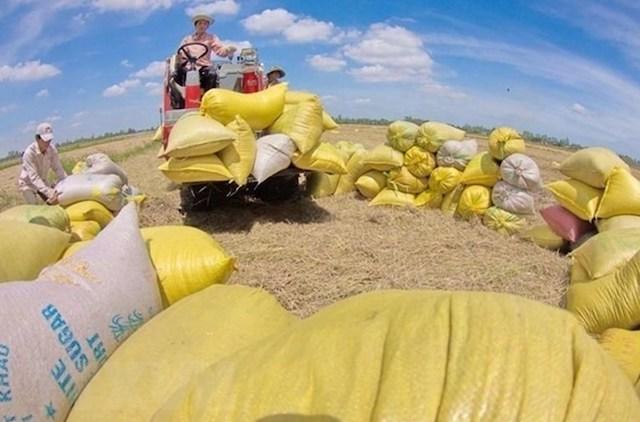 Giá gạo xuất khẩu lại bật tăng vượt giá gạo Thái Lan