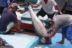 Giá thu mua cá ngừ tăng vọt