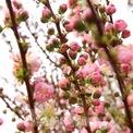 """<p class=""""Normal""""> Ngoài những loại hoa quen thuộc như hoa hồng, hoa ly, hoa cúc,.. thì năm nay còn có những loại hoa độc lạ và hiếm như hoa gạo, anh đào, mao lương, trúc mai, thủy tiên"""", cô Hiền chia sẻ thêm.</p>"""