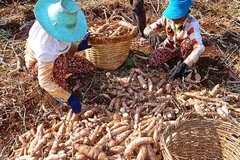 Sắn Campuchia xuất khẩu sang Thái Lan và Việt Nam đang được giá