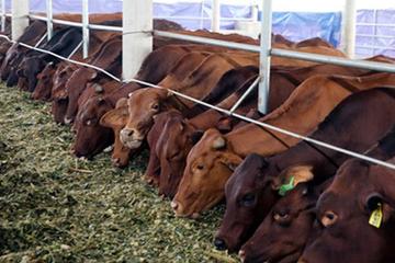 Vilico lập liên doanh với Sojizt đầu tư bò thịt
