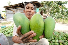 Xoài Việt nhập khẩu vào Mỹ tăng mạnh, giá cao