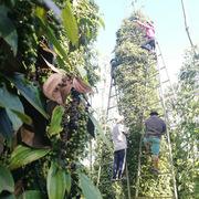Giá tiêu 'tăng nóng', nông dân phấn khởi để dành chờ giá