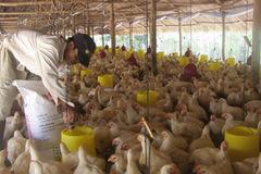 Giá thức ăn chăn nuôi tăng chóng mặt