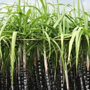 Thái Lan giảm tiêu chuẩn chất lượng của đường nhằm đẩy mạnh xuất khẩu