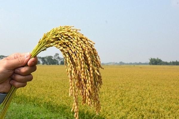 Giá lúa gạo đồng loạt giảm 300 đồng/kg
