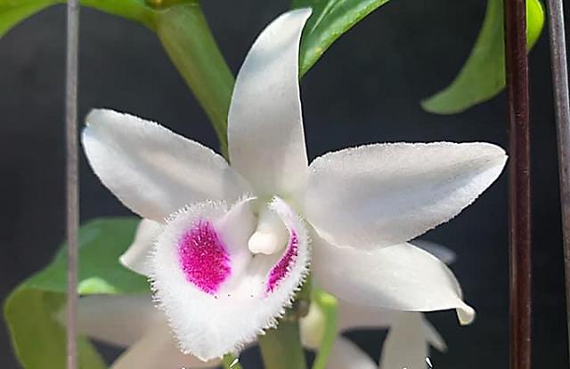 """Bông hoa lan phi điệp được cho là """"đột biến"""" và giới chơi lan đặt tên là """"năm cánh trắng Bạch Tuyết"""""""