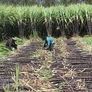 Tham vấn chống bán phá giá đường mía Thái Lan