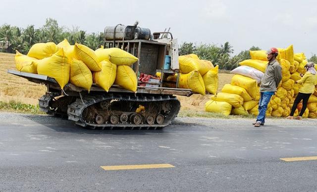 Nông dân thị xã Ngã Năm (Sóc Trăng) thu hoạch lúa ST24.