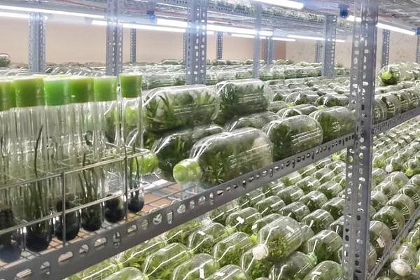 Lan đột biến cấy mô giá rẻ như rau