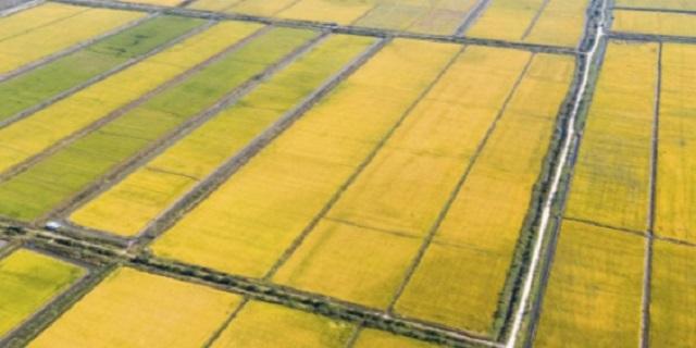 Sản xuất lúa Đài Thơm 8 xuất khẩu – trên vùng sinh thái Lúa - Tôm.