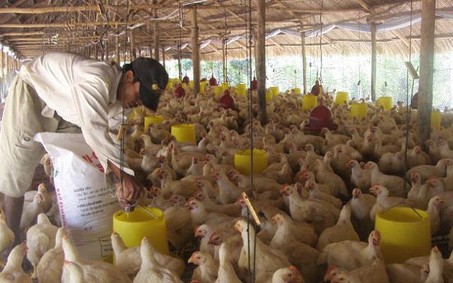 Giá thức ăn chăn nuôi tăng cao, nguy cơ thiếu hụt thịt gia cầm vào quý II