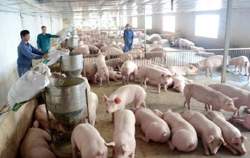 Mức thu, chế độ thu, nộp, quản lý và s.ử dụng phí trong chăn nuôi được giảm 50% từ ngày 17/5 theo Thông tư 24/2021 của Bộ Tài chính