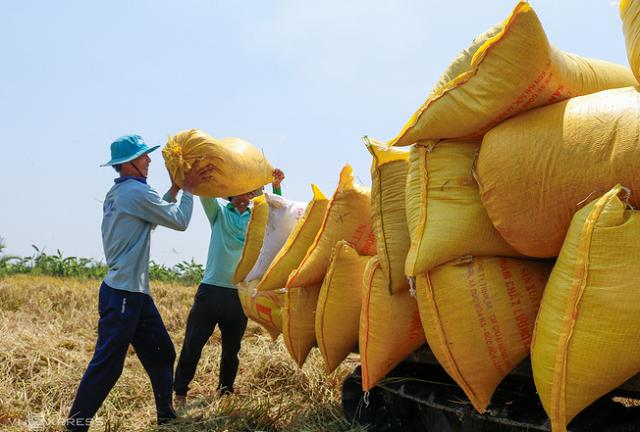 Thu hoạch lúa tại tỉnh Sóc Trăng.