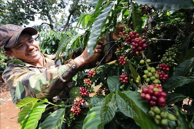 Giá cà phê tiếp tục tăng, có lúc vượt mức 34.000 đồng/kg.