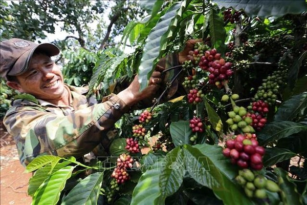 Giá cà phê tiếp tục tăng, có lúc vượt mức 34.000 đồng/kg