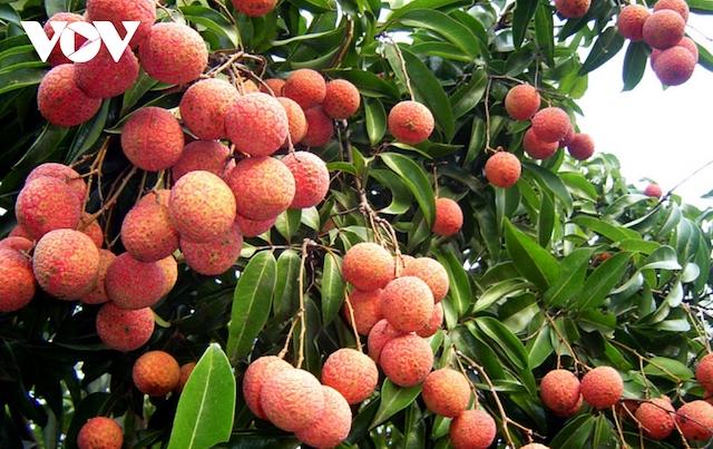 Nhật Bản ủy quyền Việt Nam giám sát vải thiều xuất khẩu.