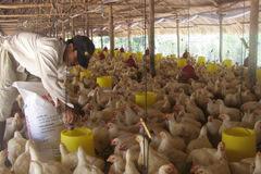Thức ăn chăn nuôi đồng loạt tăng giá, nông dân 'điêu đứng'