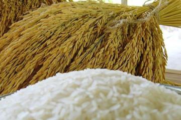 Giá gạo xuất khẩu của Việt Nam tiếp tục neo cao, một mình một hướng nhờ xuất khẩu tốt