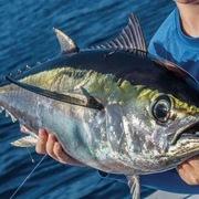 Giá cá ngừ Ấn Độ Dương tăng cao