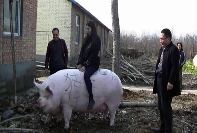 Lợn 'khổng lồ' khiến giá thịt lợn ở Trung Quốc giảm chóng mặt