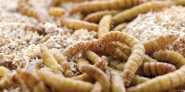 Giá thức ăn chăn nuôi tăng cao, các 'ông lớn' trong ngành đổ xô tìm nguyên liệu từ côn trùng