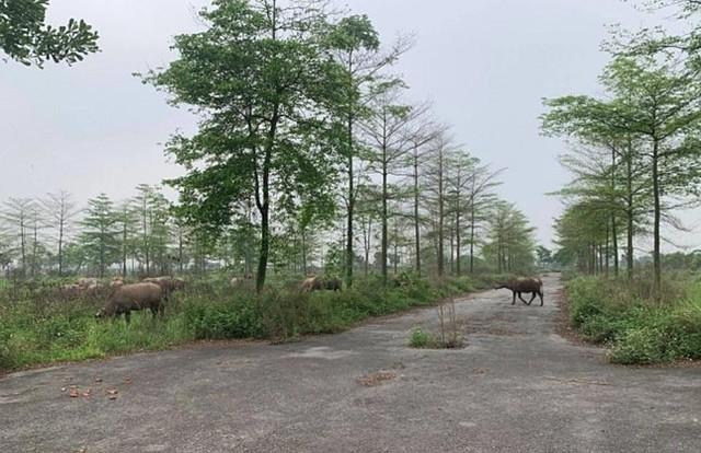 Sau hơn 10 năm triển khai, dự án khu đô thị ở Mê Linh vẫn chỉ là bãi cỏ dại mọc um tùm, là nơi chăn thả trâu bò của người dân.
