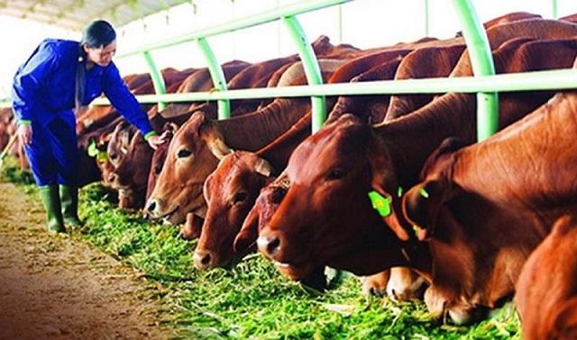 Nhiều giống bò thịt cao sản đã được chăn nuôi tại Việt Nam. Ảnh: VnEconomy