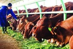 Thịt bò nhập khẩu vẫn đang chiếm ưu thế tại thị trường trong nước