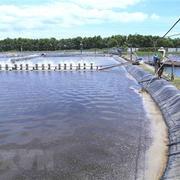 Sản lượng tôm nuôi của Trà Vinh tăng hơn 6.000 tấn